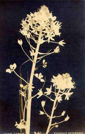 vintage botanical: Death Camass