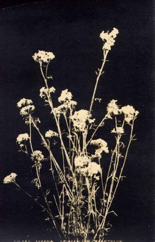 vintage botanical: Golden Yarrow