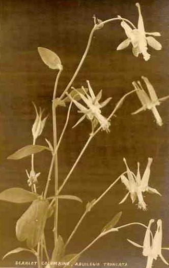 vintage botanical: Scarle Columbine