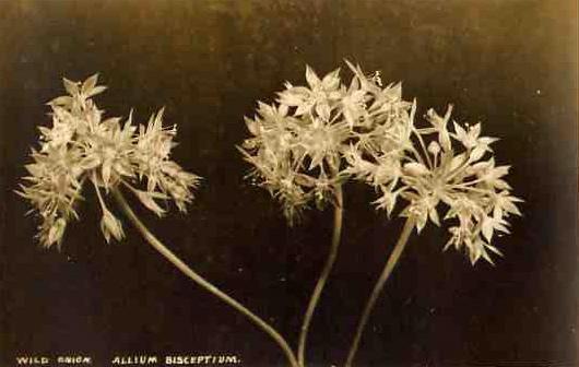 vintage botanical: Wild Onion