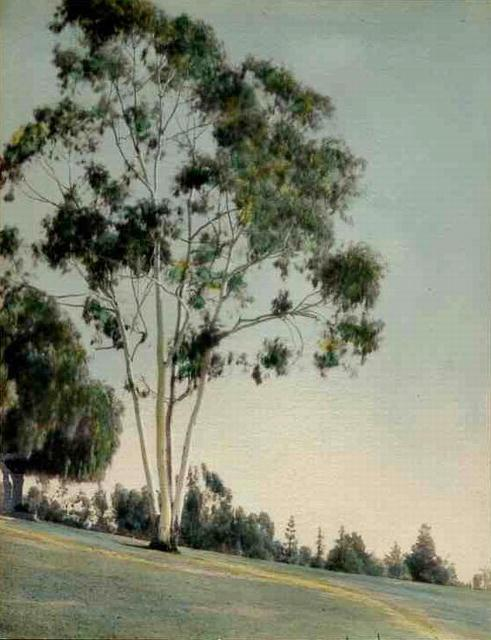 Eucalyptus Tree - vintage, hand-colored