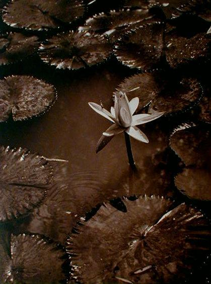 vintage Water Lilies by Charles F. Holbrook