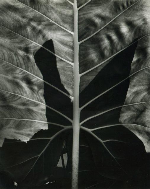 Brett Weston: Leaf Pattern, Hawaii