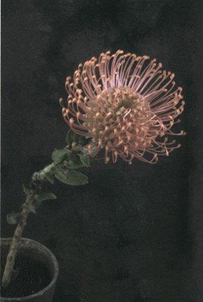 Catharina Marlowe: Protea