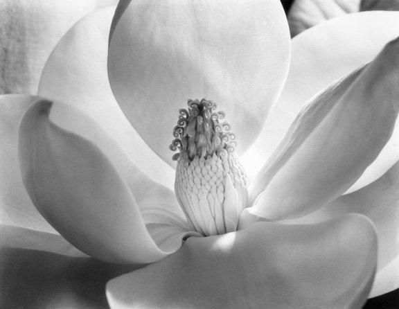 Imogen Cunningham: Magnolia Blossom