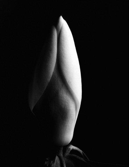 Imogen Cunningham: Magnolia Bud