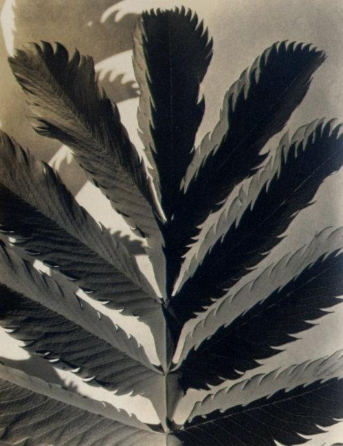 Imogen Cunningham: Leaf Pattern, Carmel Mission, before 1929