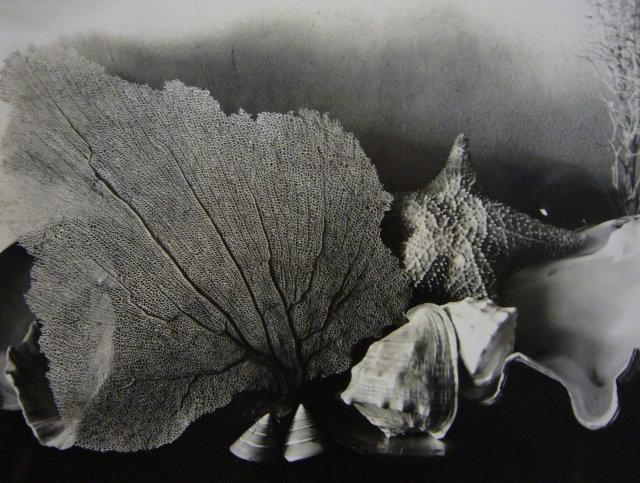 Imogen Cunningham: Shells 5