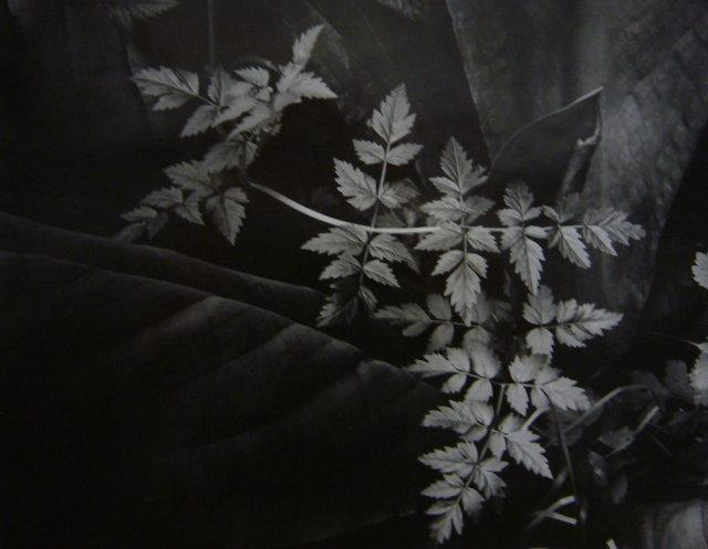 Imogen Cunningham: Leaves, 1948