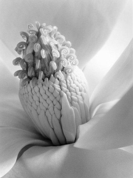 Imogen Cunningham: Magnolia Blossom, Tower of Jewels