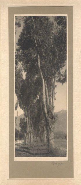 Leopold Hugo: Eucalyptus Trees