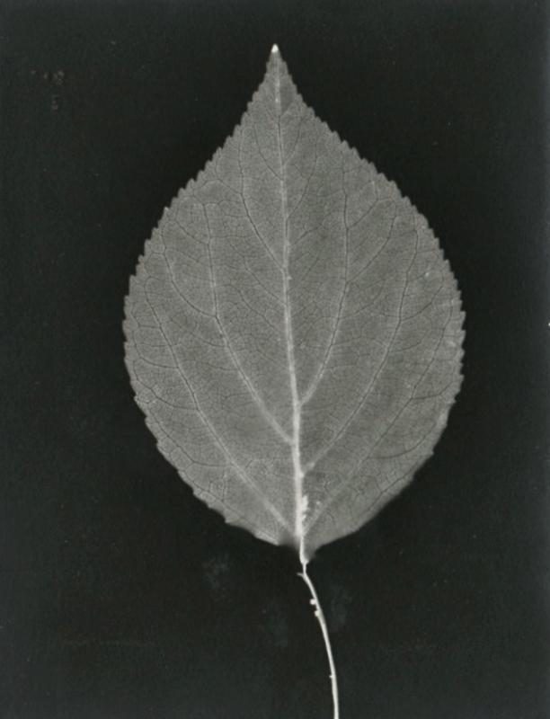 Leaf photogram