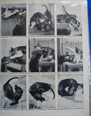 Fightighting like cats and dogs political photo Ad 1946.