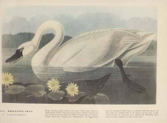 Whistling Swan #411,Cygnus Columbianus, print