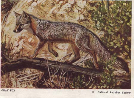 National Audubon Society Mammal Card Gray Fox