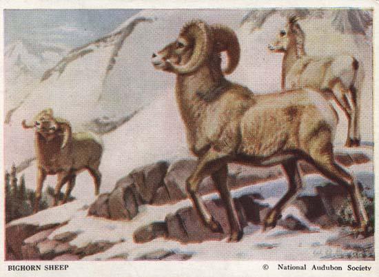 National Audubon Society Mammal Card Sheep
