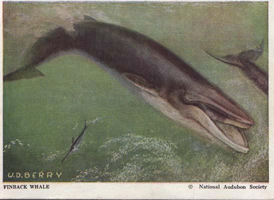 National Audubon Society Mammal Card Whale