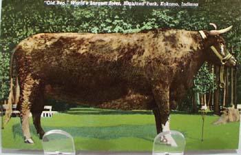 Old Ben Worlds Largest Steer Kokomo In PC