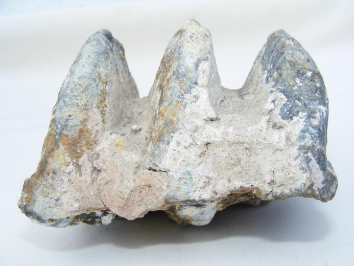 #10 FOSSIL Stegodon Vertebrate Mammal RIDGE MOLAR TEETH Organic Remains Relic