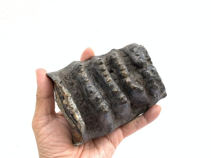 AUTHENTIC FOSSIL 140mm/ 5.5  STEGODON / MASTADON Fossils Teeth Bone Prehistoric