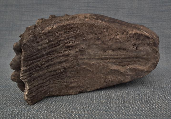 Authentic Fossil Of European Woolly Mammoth Tooth Molar