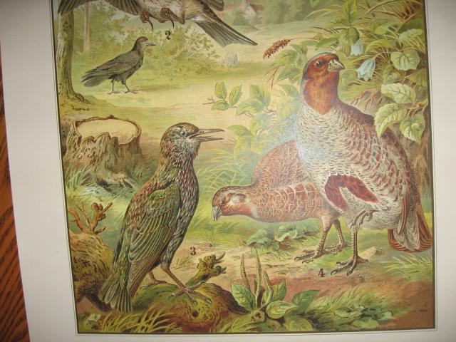 Color Lithograph BIRD BIRDS  Collage