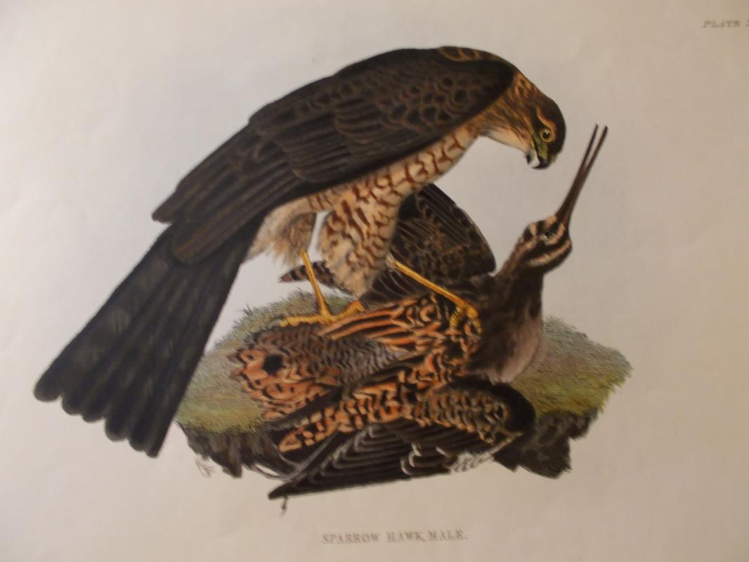 Sparrow Hawk. Original hand colored copper plate engraved print by Prideaux John Selby (1788-1867),  c. 1840