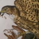 Male Merlin, Original hand colored copper plate engraved print by Prideaux John Selby (1788-1867) c. 1830