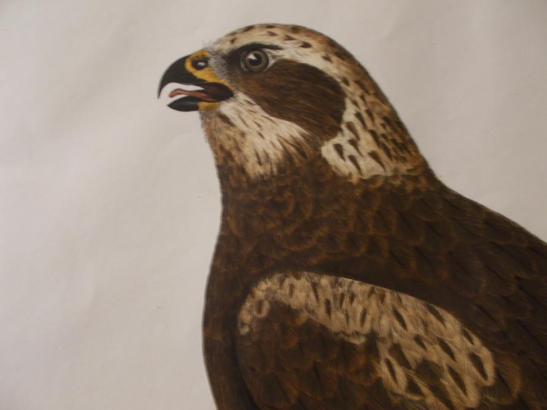 Marsh Harrier. Original, hand colored, copper plate engraved print by Prideaux John Selby (1788-1867). First edition, c. 1830