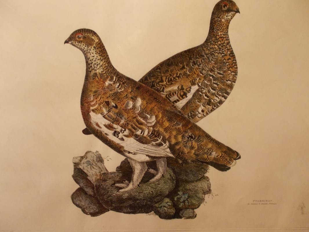 Ptarmigan. Hand colored copper plate engraving print by Prideaux John Selby (1788-1867). First edition, c. 1830