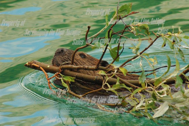Original Photo  Beaver with Twig from Yukon Territory , signed