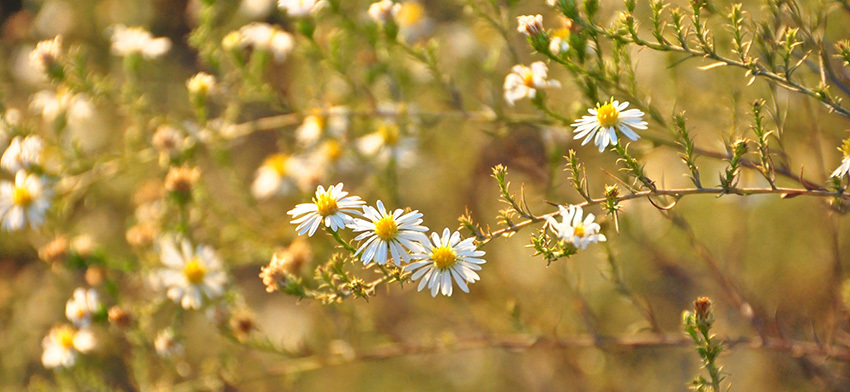 Plant of the week heath aster list image