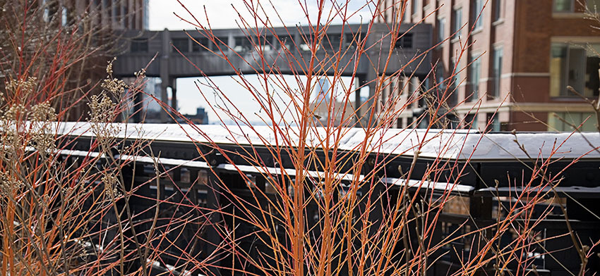 Plant of the week midwinter fire bloodtwig dogwood list image