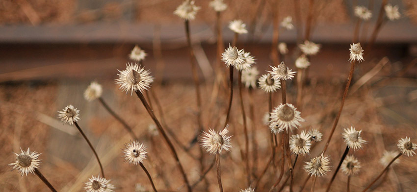 Plant of the week echinacea coneflower list image