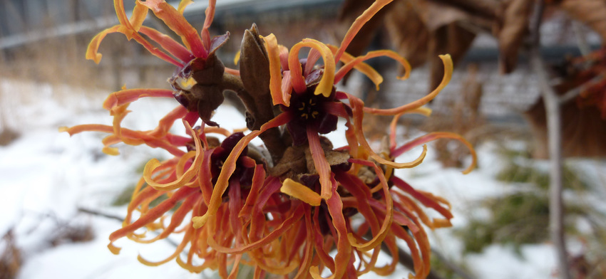 Plant of the week jelena witch hazel list image