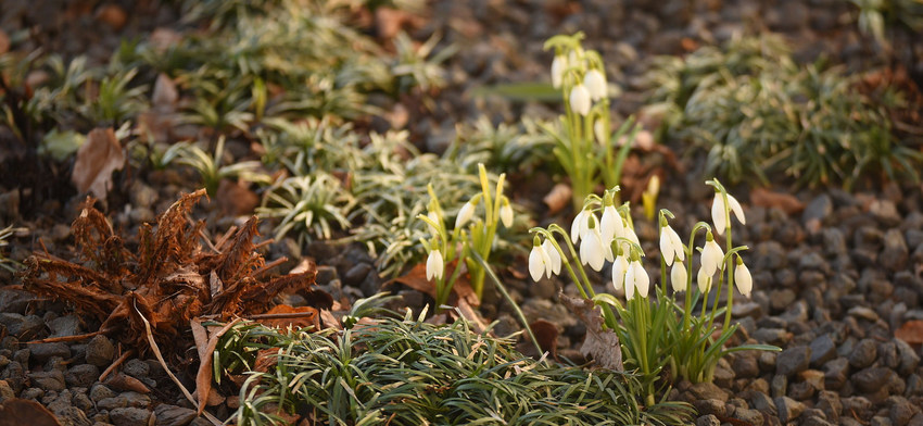 Photo of the week snowdrops list image
