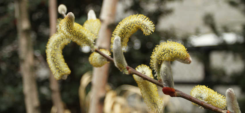Plant of the week giant pussy willow list image
