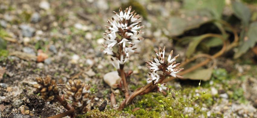 Plant of the week allegheny spurge list image