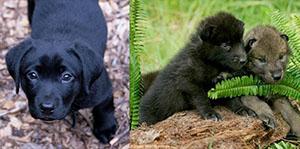 January-lab-vs-wolf-pups.jpg#asset:7141