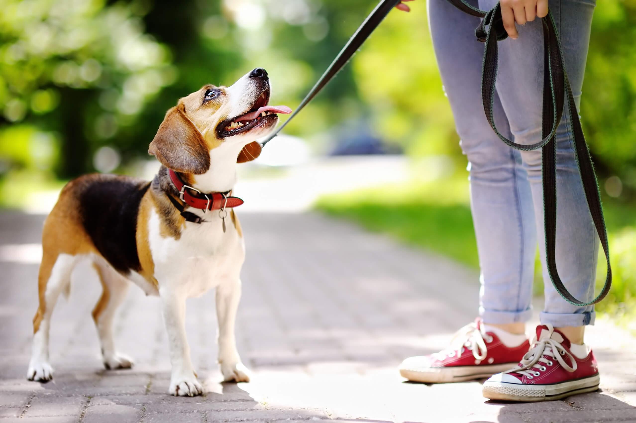 Beagle.jpeg#asset:9639