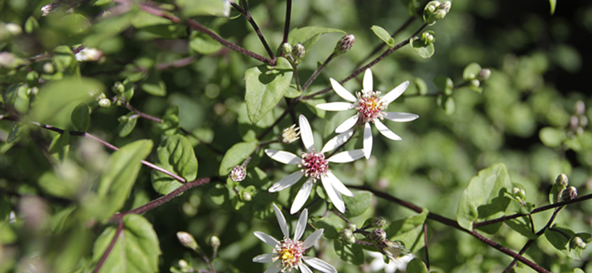 Plant of the week eastern star white wood aster list image
