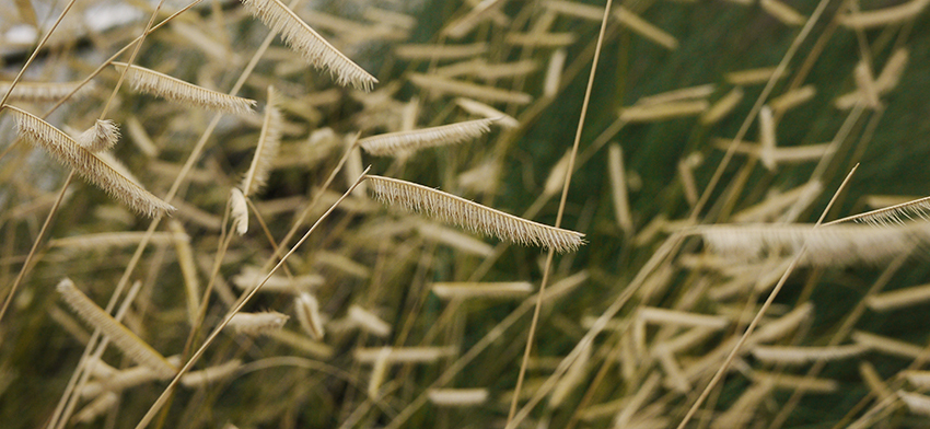 Plant of the week blonde ambition mosquito grass list image