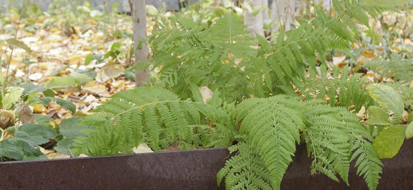 Minutissimum dwarf lady fern list image