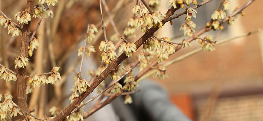 Plant of the week fragrant wintersweet list image