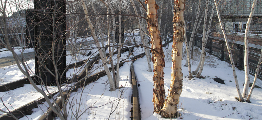 Plant of the week river birch list image