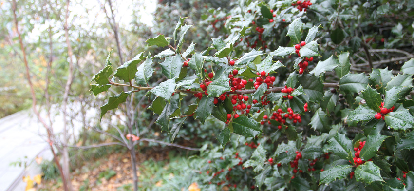 Plant of the week american holly list image