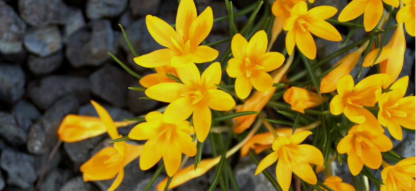 Plant of the week golden bunch crocus list image