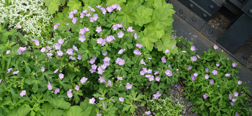 Plant of the week wild geranium list image