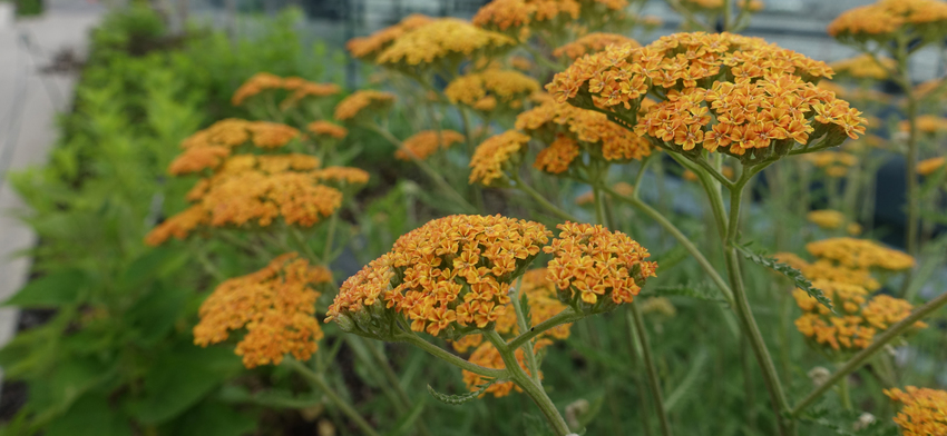 Plant of the week terracotta yarrow list image