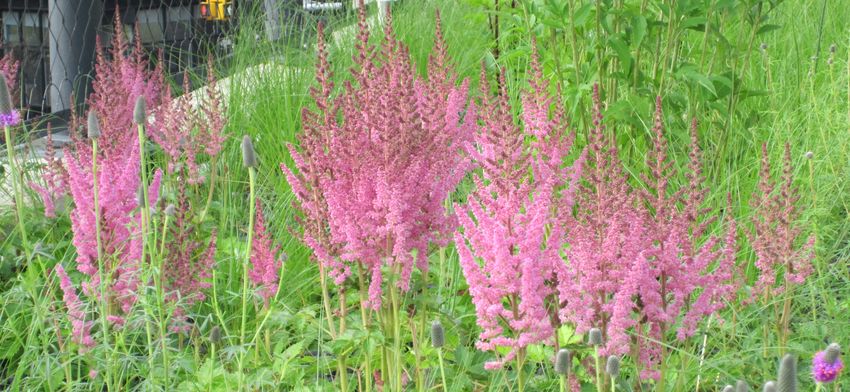 Plant of the week visions in pink chinese astilbe list image